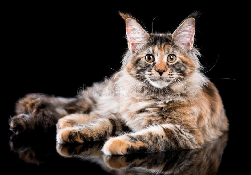 Ritratto del gattino del Coon della Maine fotografia stock