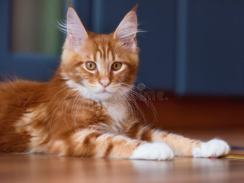 Ritratto del gattino rosso di Maine Coon, 3 mesi immagine stock