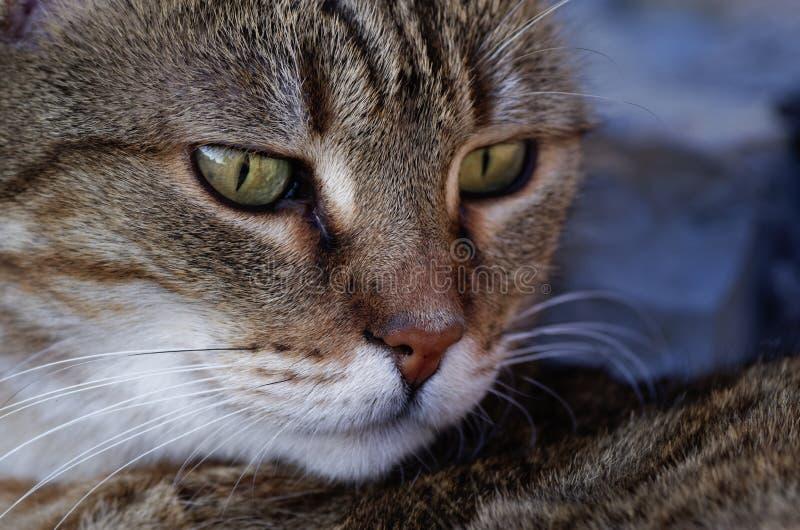 Ritratto del gatto fotografia stock immagine di stancato - Immagine del gatto a colori ...