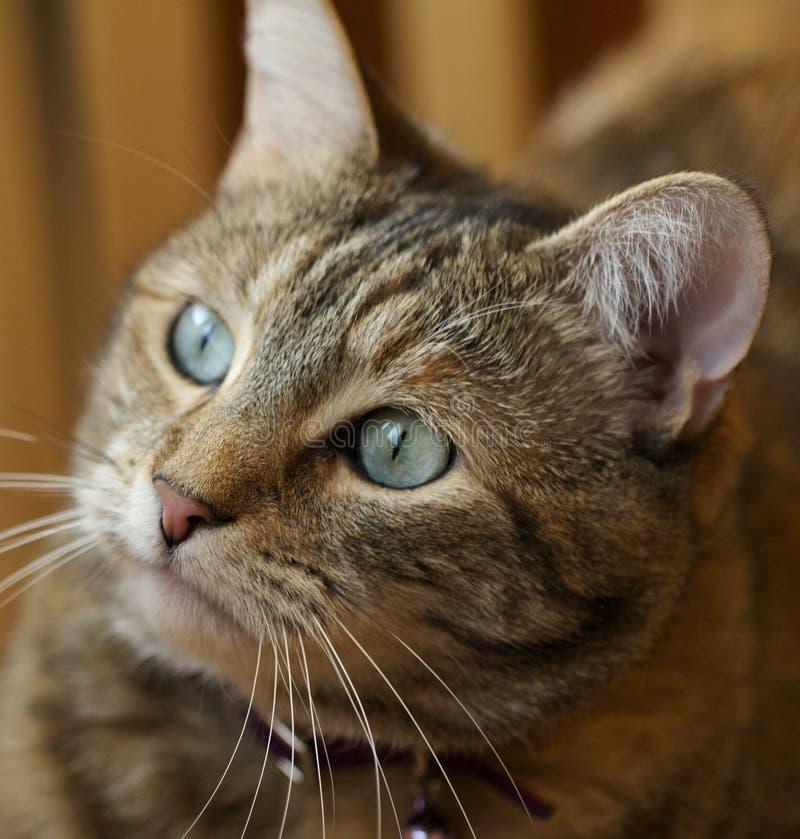 Ritratto del gatto fotografia stock immagine di occhi - Immagine del gatto a colori ...