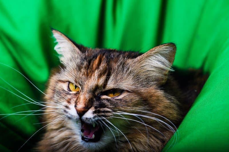 Ritratto del gatto arrabbiato immagine stock libera da diritti