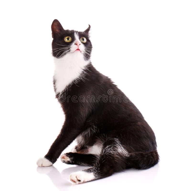 Ritratto del gatto in bianco e nero divertente e sorpreso immagine stock libera da diritti