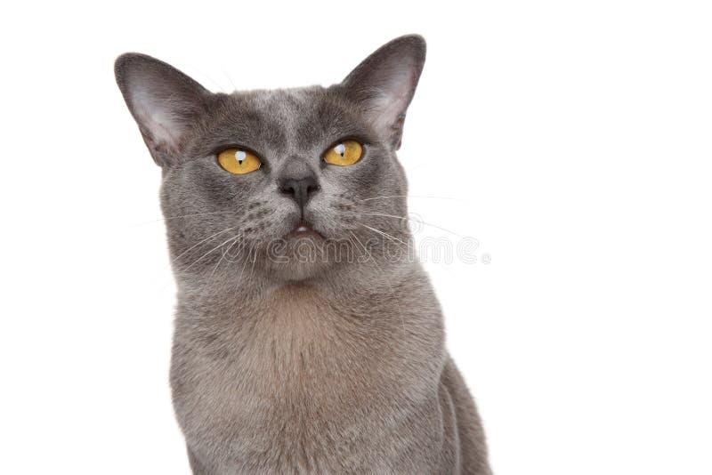 Ritratto del gatto birmano immagini stock libere da diritti