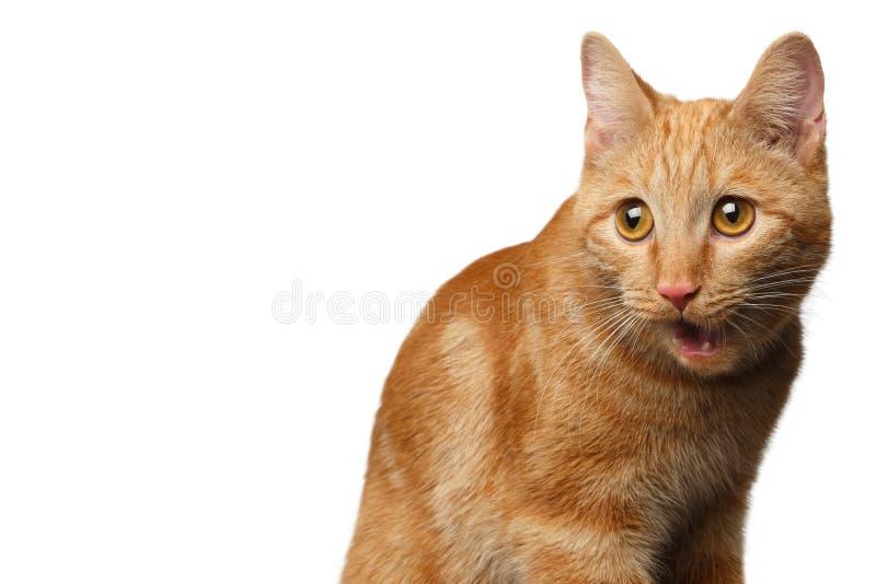 Ritratto del gatto dello zenzero su fondo bianco isolato fotografia stock libera da diritti
