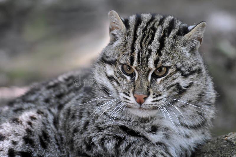 Ritratto del gatto di pesca fotografia stock