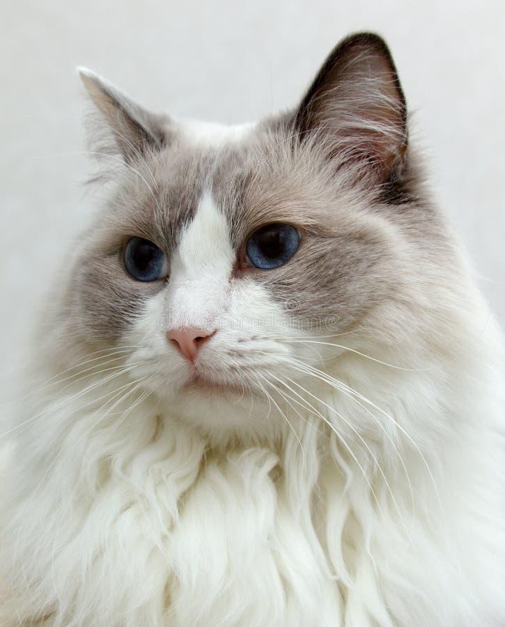 Ritratto del gatto di Ragdoll con un fondo luminoso immagini stock
