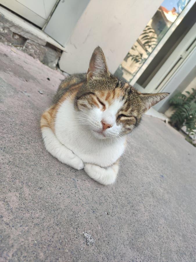Ritratto del gatto di sonno fotografia stock libera da diritti