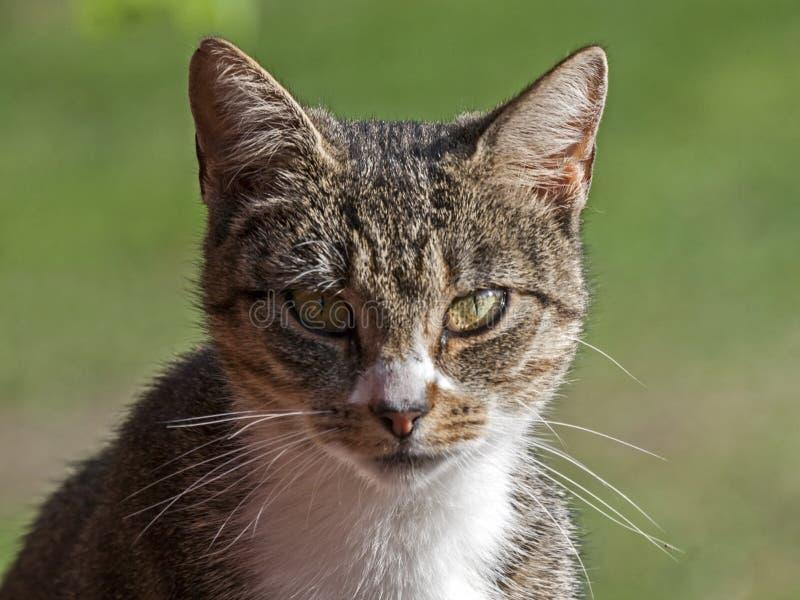 Ritratto del gatto di soriano fotografia stock