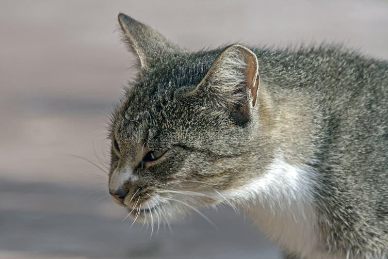 Ritratto del gatto di soriano fotografia stock libera da diritti