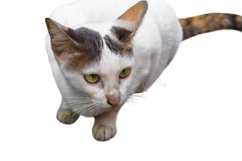 Ritratto del gatto di soriano bianco e giallo isolato su fondo bianco Percorso di ritaglio fotografie stock libere da diritti