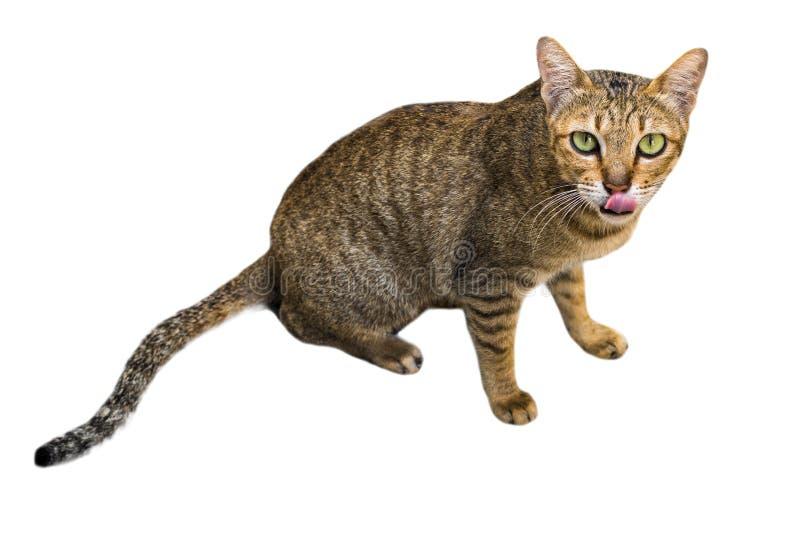 Ritratto del gatto di soriano osservato marrone Lingua di Kitty isolata su fondo bianco fotografie stock libere da diritti