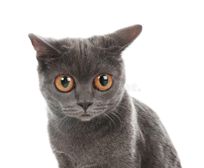 Ritratto del gatto divertente sveglio con i grandi occhi immagini stock libere da diritti