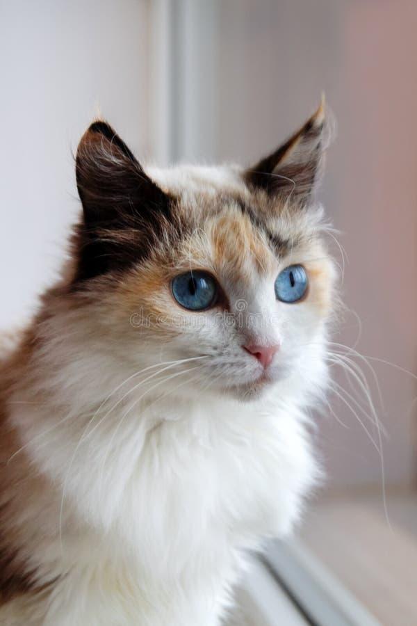 Ritratto del gatto lanuginoso della carapace adorabile con gli occhi azzurri che si siedono vicino ad una finestra fotografia stock