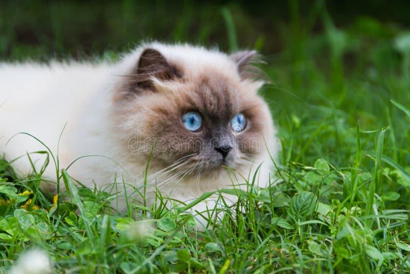 Ritratto del gatto persiano himalayano sull'erba verde di estate immagine stock
