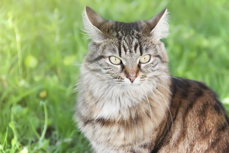 Ritratto del gatto siberiano arrabbiato Primo piano fotografia stock libera da diritti
