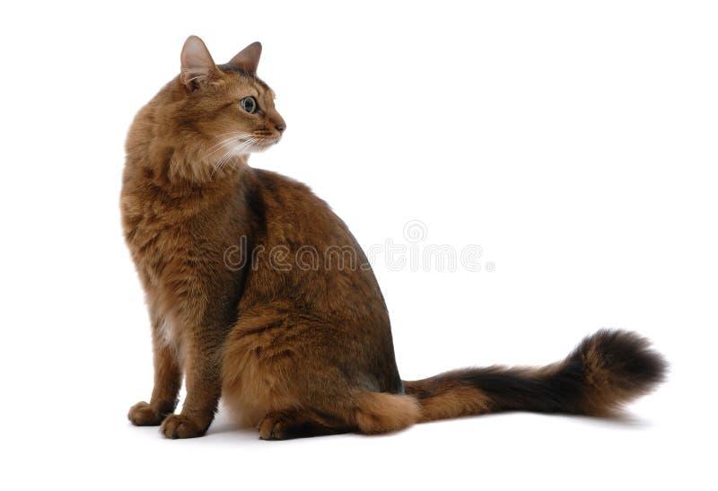 Ritratto del gatto somalo, isolato fotografia stock