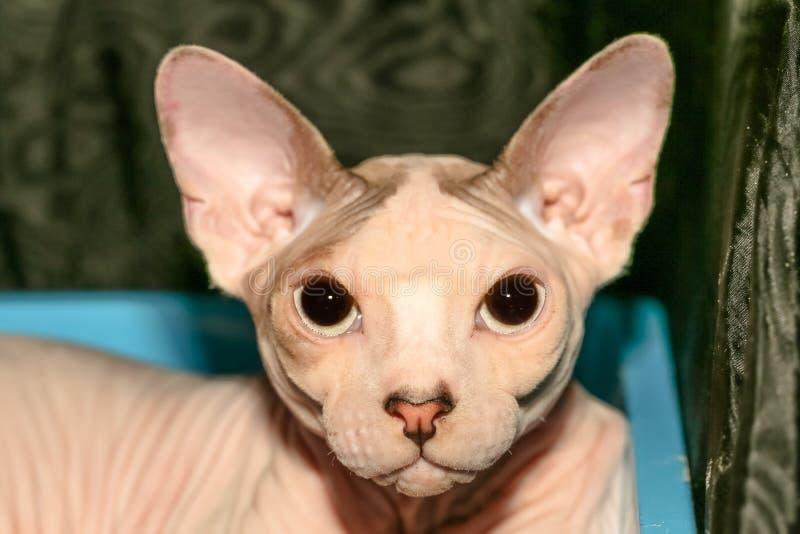 Ritratto del gatto Sphynx immagini stock