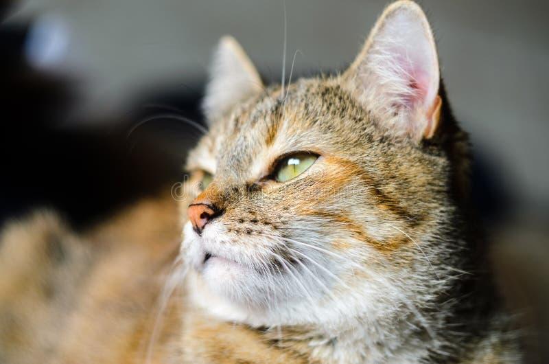 Ritratto del gatto su fondo luminoso immagine stock
