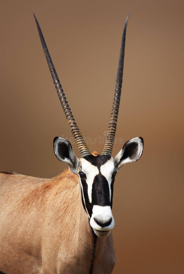 Ritratto del Gemsbok in Etosha fotografia stock libera da diritti
