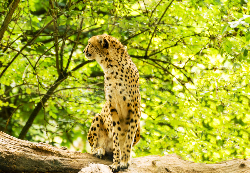Ritratto del ghepardo immagini stock