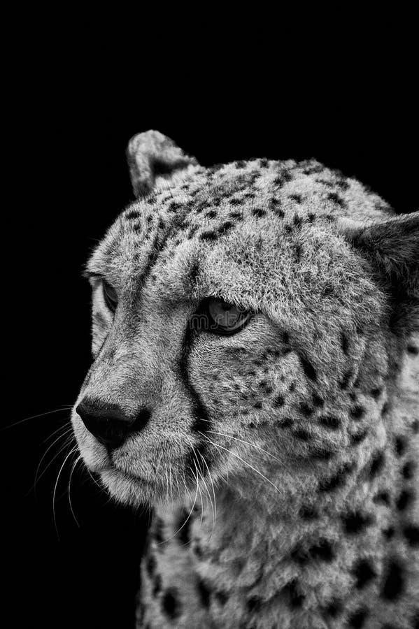 Ritratto del ghepardo in bianco e nero fotografia stock