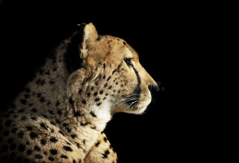 Ritratto del ghepardo isolato sul nero fotografie stock