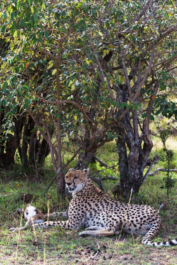 Ritratto del ghepardo Lui stanco dopo la corsa per l'impala Resto nel cespuglio Il Kenia, Africa fotografia stock libera da diritti