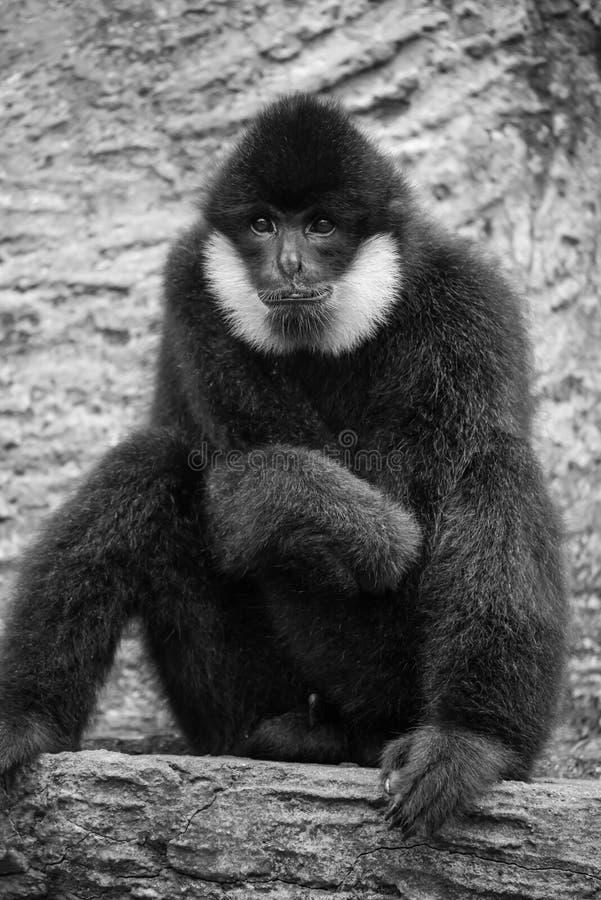 Ritratto del gibbone nero fotografia stock libera da diritti