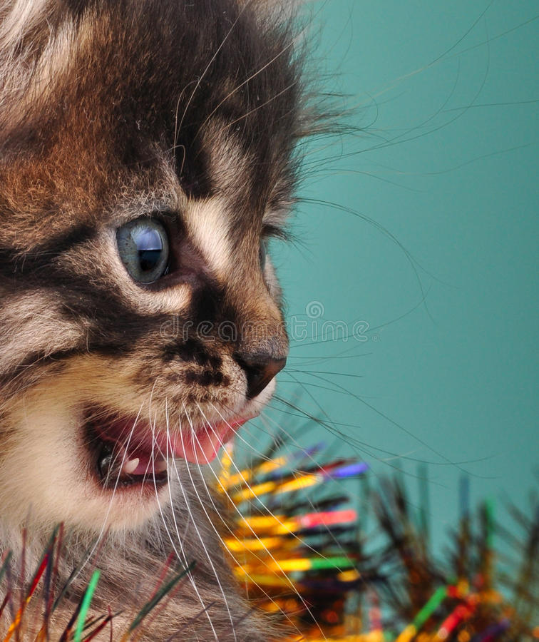 Ritratto del gruppo di Natale del gattino immagini stock libere da diritti