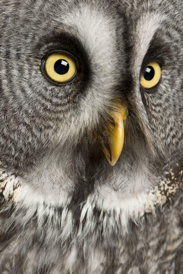 Ritratto del gufo di grande Grey fotografia stock libera da diritti