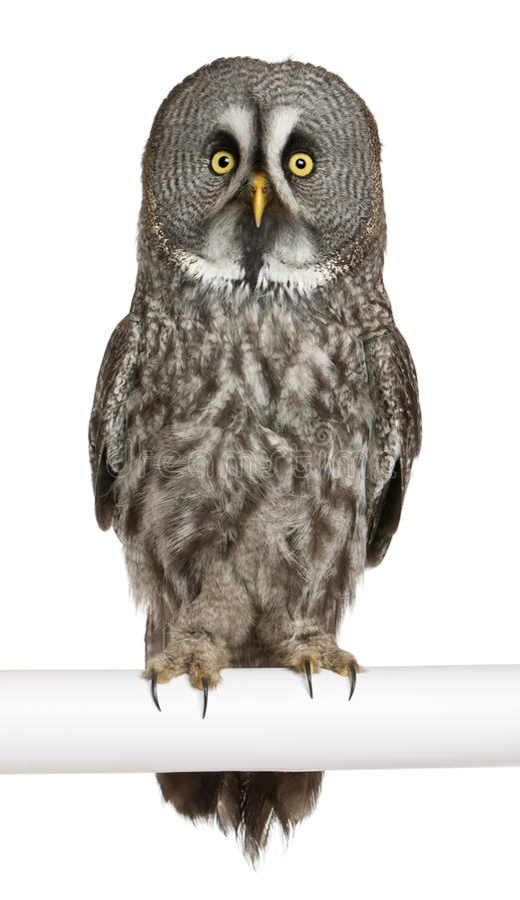 Ritratto del gufo di grande Grey o del gufo della Lapponia fotografia stock libera da diritti