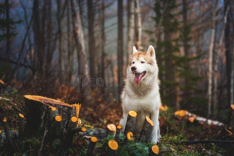 Ritratto del husky siberiano della razza bagnata sveglia del cane che si siede verso la fine della foresta di autunno il giorno p immagini stock libere da diritti