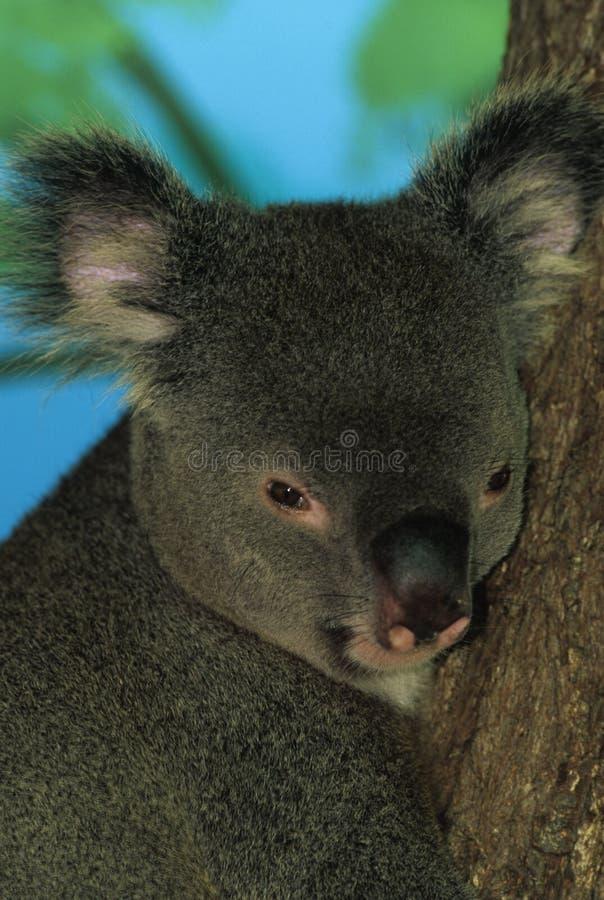 Ritratto del Koala immagine stock