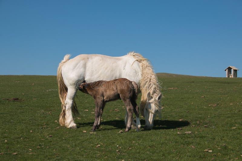 Ritratto del latte del lattante del puledro del cavallo del bambino dalla sua giumenta fotografia stock libera da diritti
