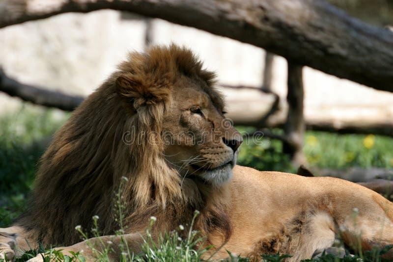 Ritratto del leone fotografie stock libere da diritti