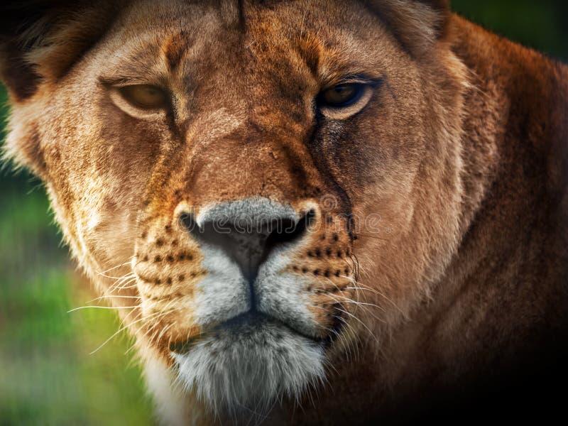 Ritratto del leone della leonessa fotografia stock libera da diritti
