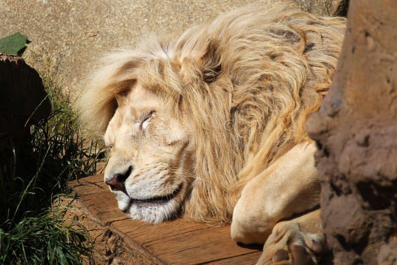 Ritratto del leone di sonno immagine stock