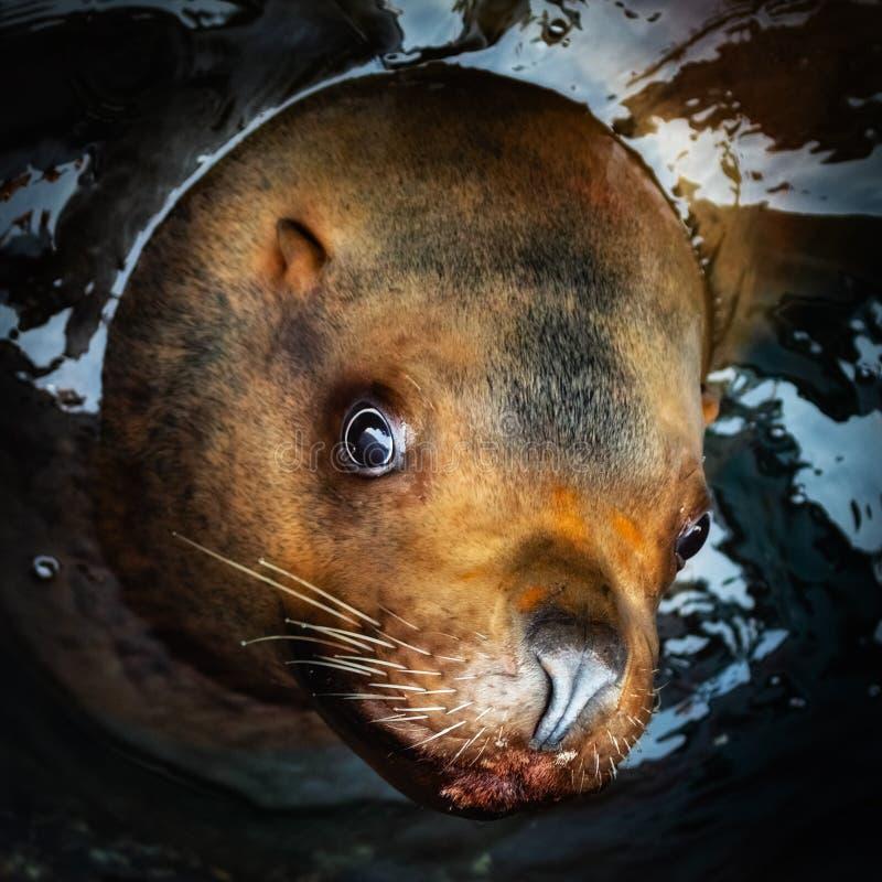 Ritratto del leone marino di Steller o del leone marino nordico immagini stock libere da diritti