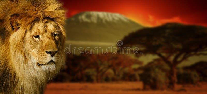 Ritratto del leone sul Kilimanjaro al tramonto fotografia stock libera da diritti