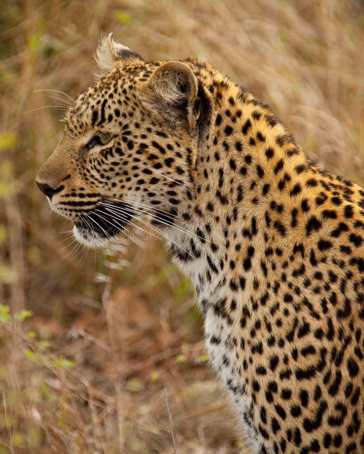 Ritratto del leopardo fotografia stock