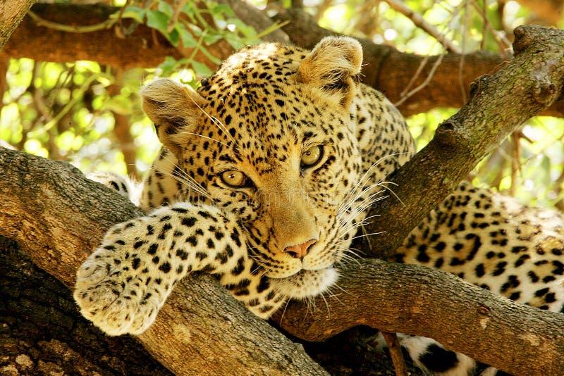 Ritratto del leopardo fotografie stock