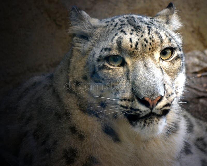 Ritratto del leopardo delle nevi immagini stock