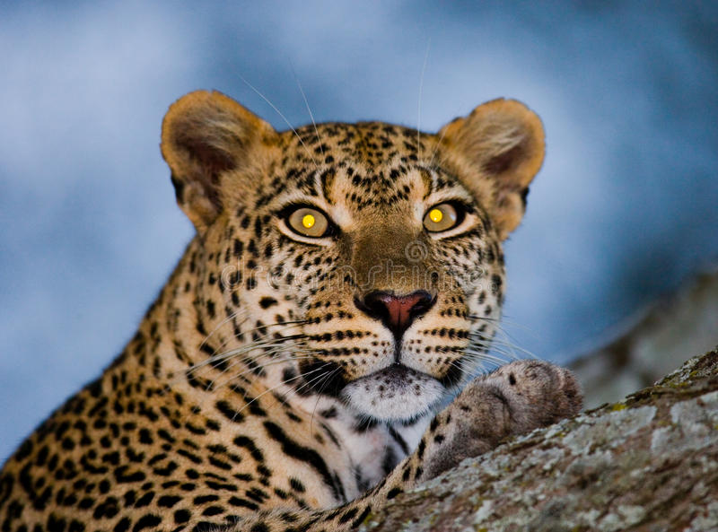 Ritratto del leopardo Primo piano Sosta nazionale kenya tanzania Maasai Mara serengeti fotografia stock libera da diritti