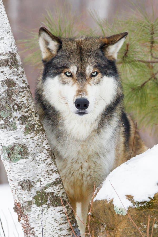 Ritratto del lupo di legname fotografia stock