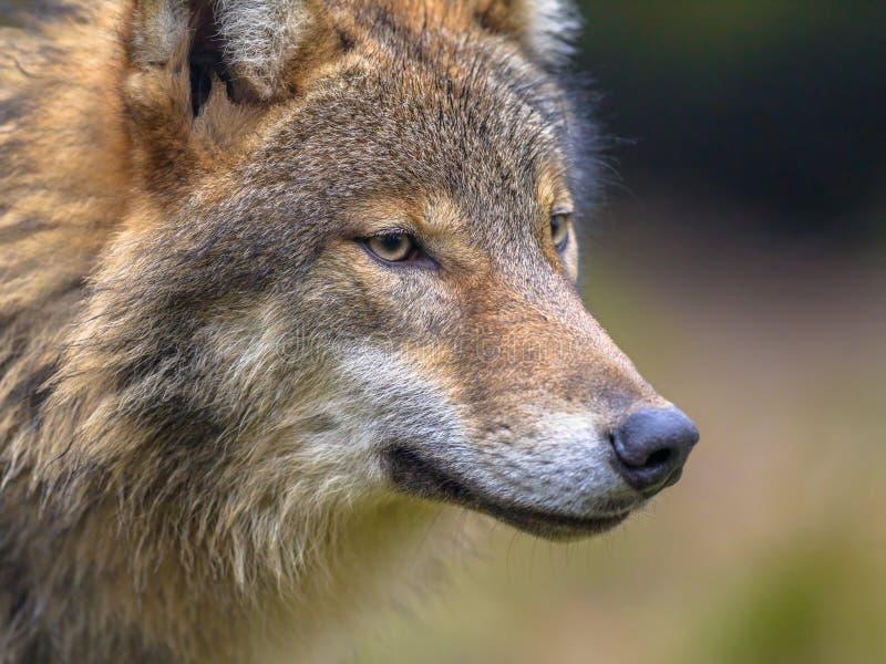 Ritratto del lupo europeo fotografie stock libere da diritti
