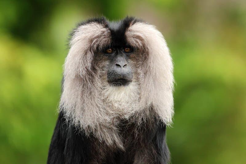 Ritratto del macaco Leone-munito, silenus del Macaca, fotografie stock