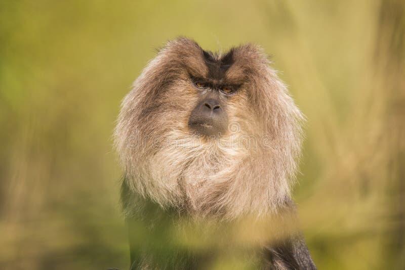 Ritratto del macaco Leone-munito, silenus del Macaca, scimmia dalla foresta tropicale fotografia stock libera da diritti
