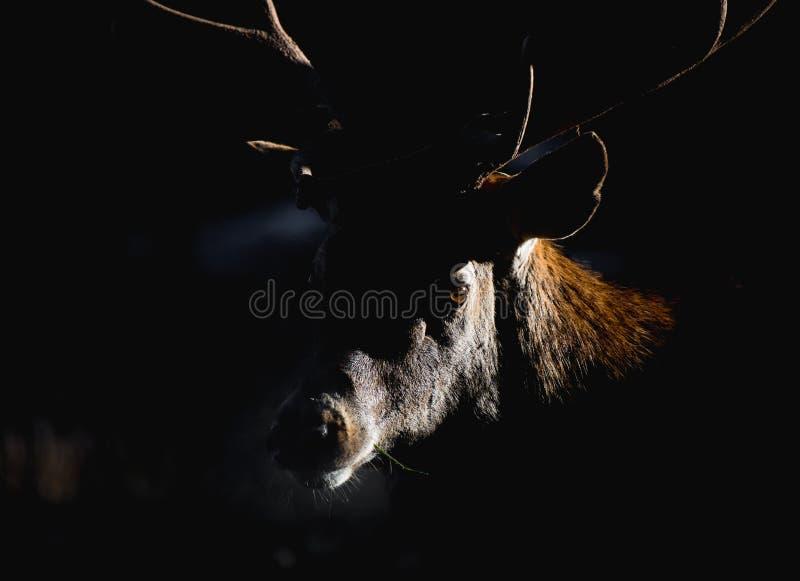 Ritratto del maschio adulto potente maestoso dei cervi nobili nella foresta di Autumn Fall fotografie stock libere da diritti