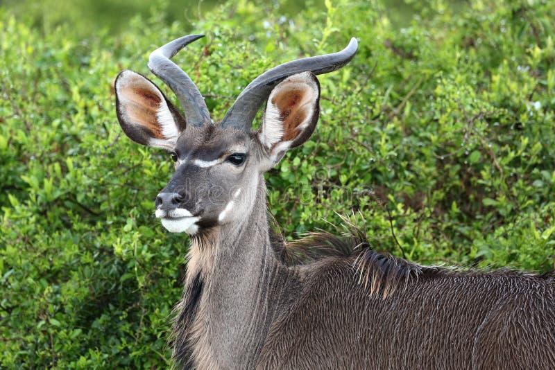 Ritratto del maschio di Kudu immagine stock libera da diritti