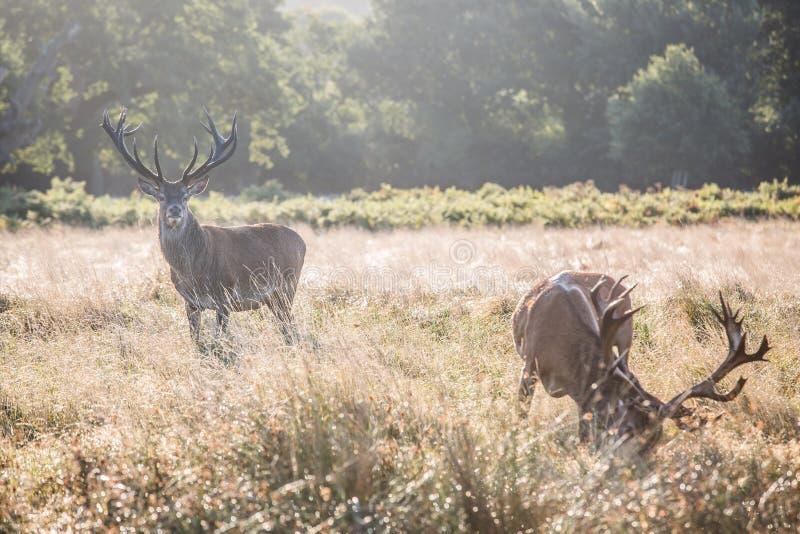 Ritratto del maschio maestoso dei cervi rossi nella caduta di autunno immagine stock libera da diritti